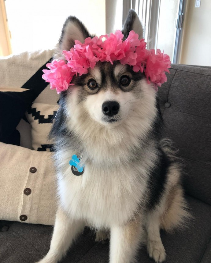 The Adorable Pomeranian-Husky Mix The Internet Has Fallen In Love With PET-icure pet Grooming & Supplies Pepperell Massachusetts 01463 Dog Cat Groomer