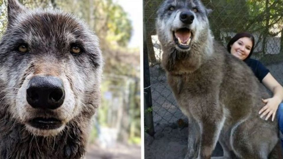 Husky/Wolf Mix - Makes me miss my Wolfe, he looked almost ...  |Black Siberian Husky Wolf Mix